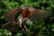 _robin_landing
